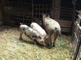 От днес – до 3 прасета в личните стопанства
