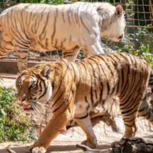 Два тигъра са починали в зоопарка в Стара Загора